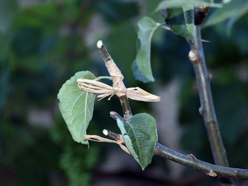 perkembangbiakan vegetatif buatan dengan cara menyambung
