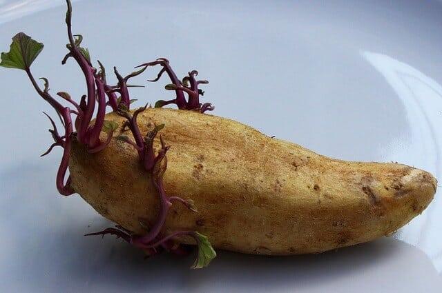 perkembangbiakan vegetatif pada tumbuhan